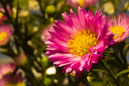 Asters are wonderful cut flowers