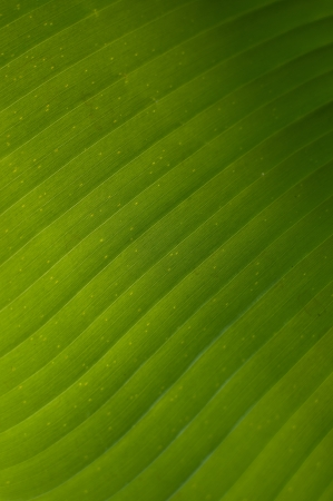 Details of banana leaves that were photographed in close-up photo