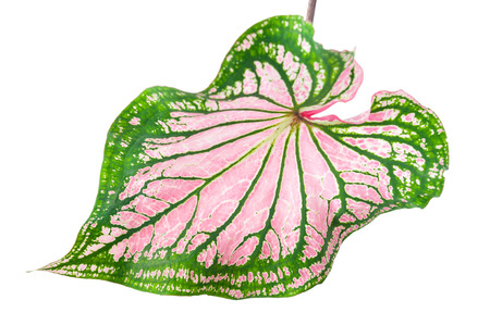 bicolor: Scientific name is Caladium bicolor or is there another name for the Queen of the Leafy Plants Stock Photo