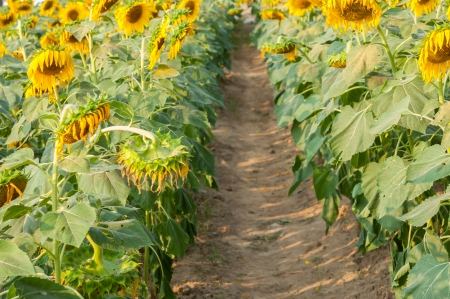 Sunflower field in Thailand on a sunny day Stock Photo