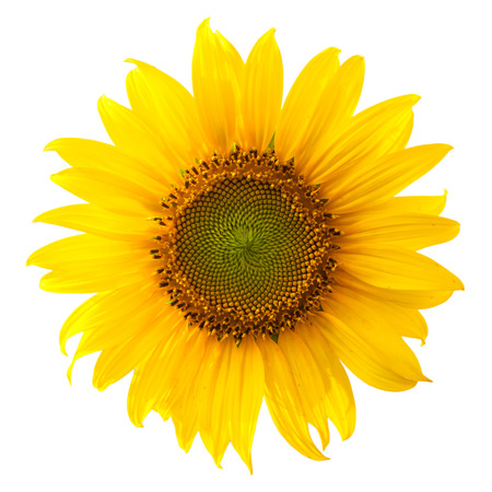 Close-up of a sunflower on white  Stock Photo