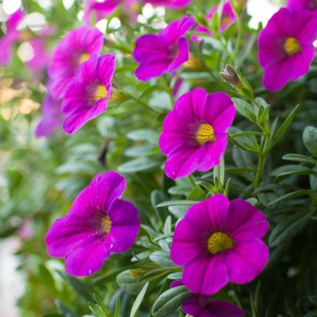 Colorful petunias close-up, selective focus photo
