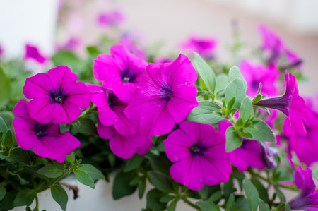 petunias: Colorful petunias close-up, selective focus, shallow DoF