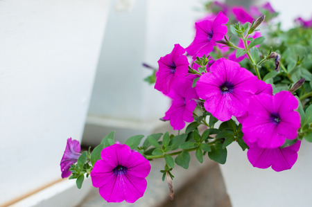 Colorful petunias close-up, selective focus, shallow DoF photo