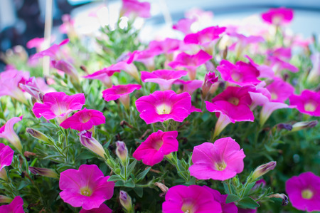 Colorful petunias close-up, selective focus, shallow DoF