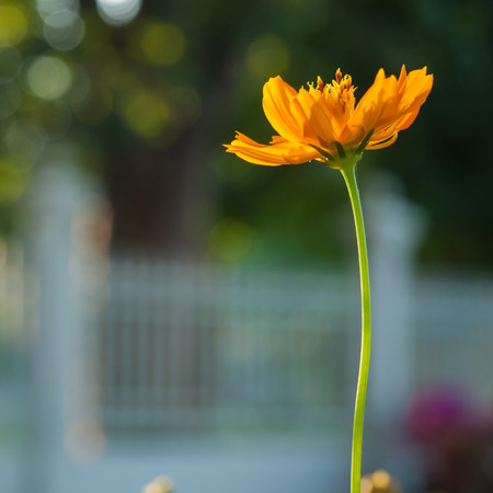 daisys: Cosmos flower with green leaf on bokeh background Stock Photo