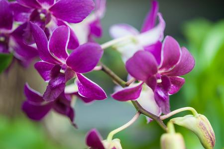 graden: Close up of Dendrobium hybrids flower in the graden