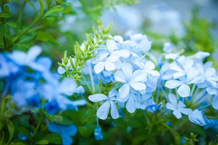 auriculata: Closeup of the plan Plumbago Auriculata, widely known as Plumbago Capensis. Other common names: Cape Plumbago, Cape Leadwort, and Blue Plumbago. Tropical, evergreen, flowering shrub. Stock Photo