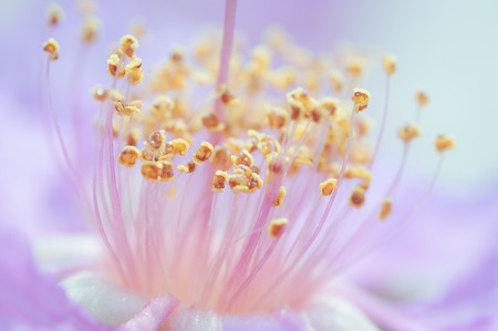 annonaceae: Carpel of cananga flower on a natural background in pastel filtered Stock Photo
