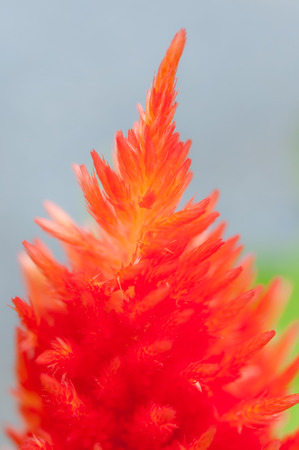 Colorful celosia flower in the garden photo