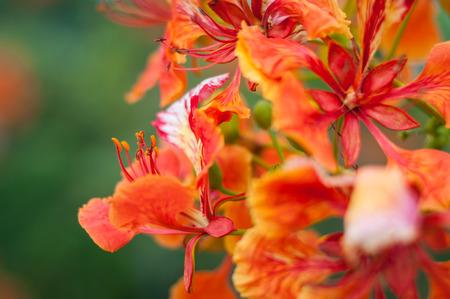 Royal Poinciana or Flamboyant (Delonix regia) Stockfoto