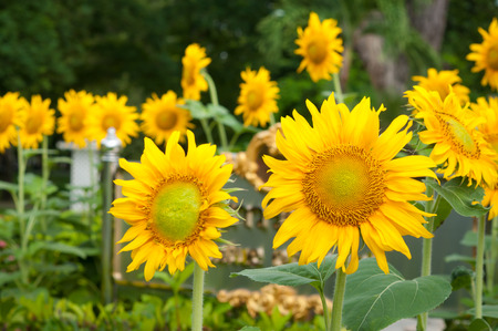 deteriorate: Sunflower field in Thailand on a sunny day Stock Photo