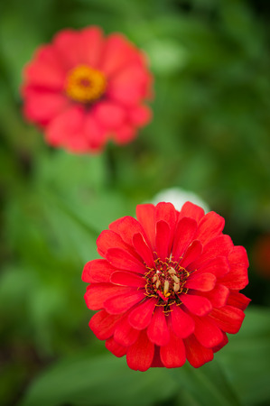 Red Zinnia flowers in the garden photo
