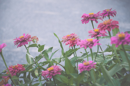 Colorful Zinnia flowers in the garden, Color effect photo