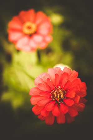 Red Zinnia flowers in the garden, Retro effect photo