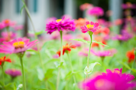 Colorful Zinnia flowers in the garden photo