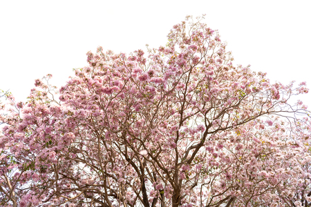 rosea: Tabebuia rosea (Pink trumpet) blooming, Tebebuia Flower from Thailand, Isolated Image