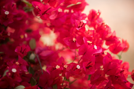 dept: Pink bougainvillea, paper flower in dept of field
