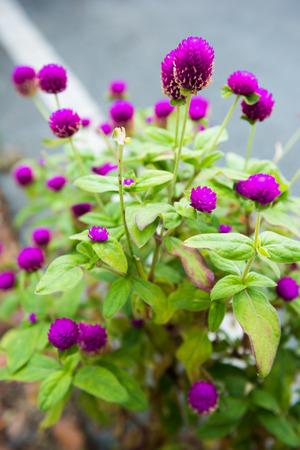 Amaranth flower in garden
