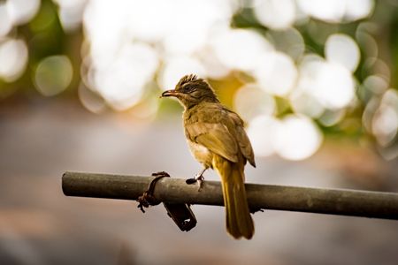 Portrait of Streak-eared Bulbul (Pycnonotus blanfordi) with spiders in the mouth, Shoot on nature in Thailand