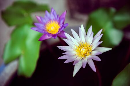 Beautiful pink waterlily or lotus flower in pond, Color Effect. Stockfoto