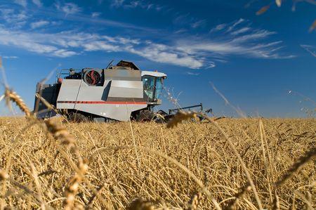 combine harvester: Cosechadora de trigo para tomar