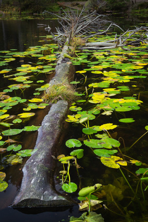 Dead tree and water lilies in a glacial lake in Austria.