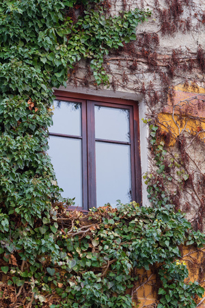 tendrils: Old window surrounded by creeping ivy plants