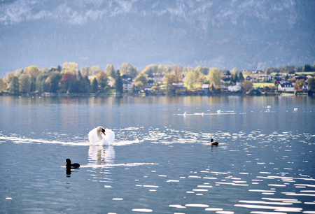 water birds: Swan and other water birds floating on Mondsee lake with town in background