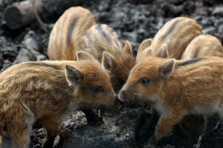 piglets: little piglets Stock Photo