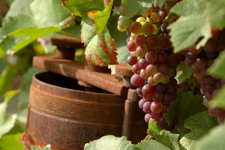 winepress: wine grapes
