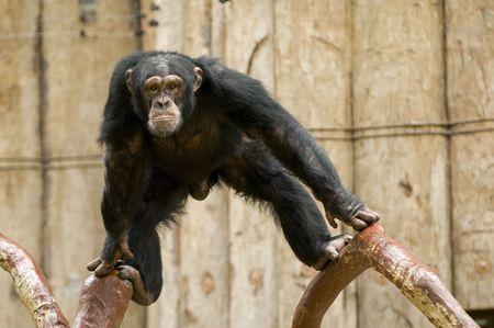 chimp: monkey