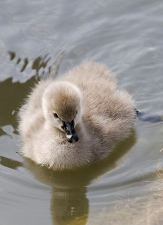 bird web footed: little swan 2