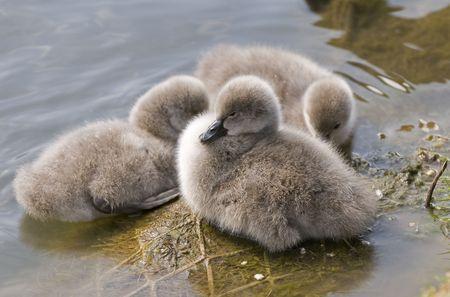 bird web footed: swan trio