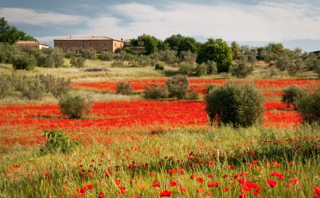 red field of poppies photo
