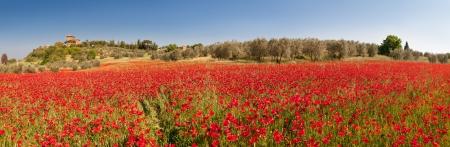 field of red poppies in tuscany region Standard-Bild