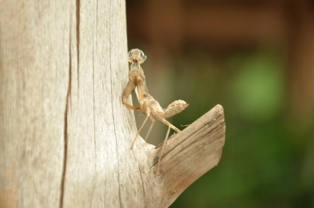 Moult of Grasshopper in the garden  photo