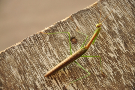 Green Grasshopper on the table Stock Photo - 16214069