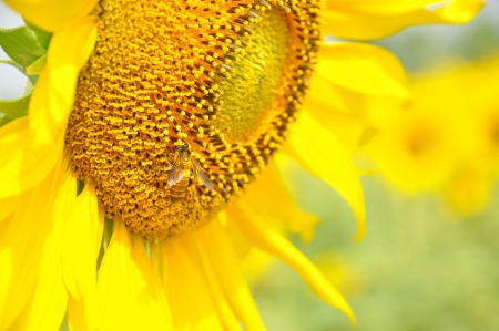 Bee on a sunflower photo