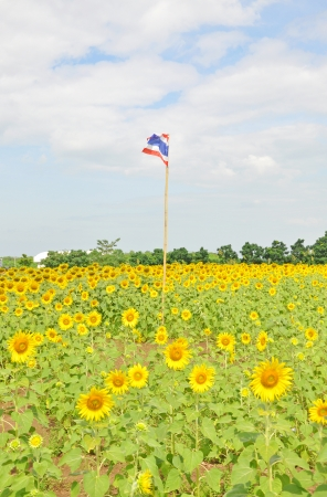 Thai flag in the sunflower field photo