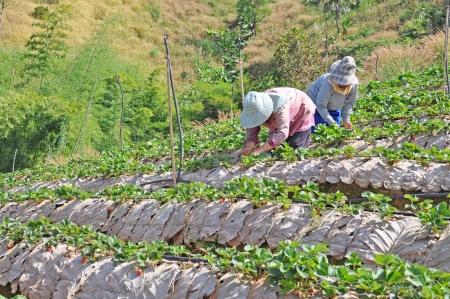 Farmers harvest strawberries in field  Khao Kho, Phetchabun of Thailand  photo