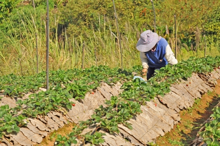 Farmer harvests strawberries in field  Khao Kho, Phetchabun of Thailand  photo