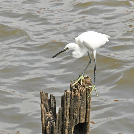 clinging: The egret is clinging on the wood  Stock Photo