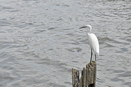 The egret is clinging on the wood  Stock Photo