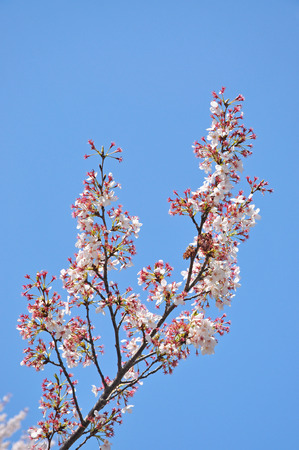 Cherry blossom in the spring season of the Japan  photo