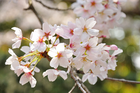 Cherry blossom in the spring season of the Japan