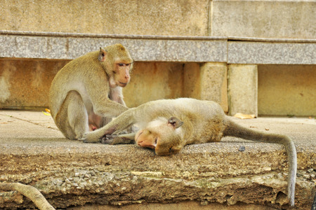 Monkey searching fleas from another monkey