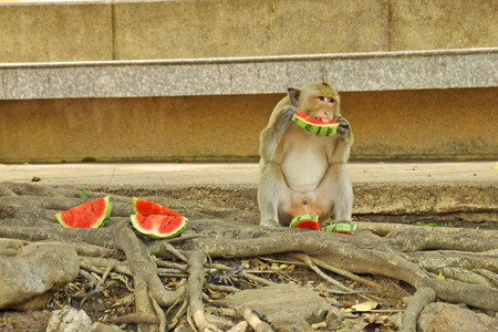 Monkey eating watermelon on the floor  photo
