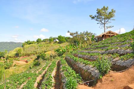 Strawberry field at Khao Kho, Phetchabun of Thailand  photo