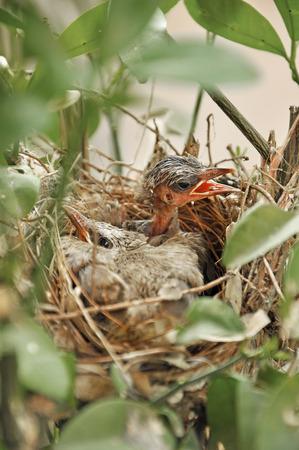 flappers: Las aletas en el nido.